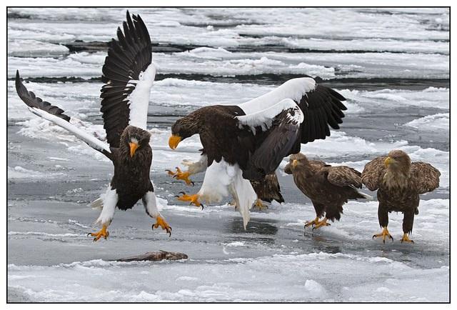 Riesenseeadler ernu00e4hren sich vorwiegend von Fischen : Tiernah