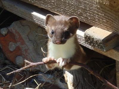 Mauswiesel Haustier